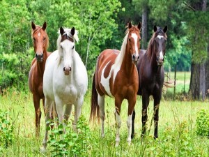 Variedad de caballos