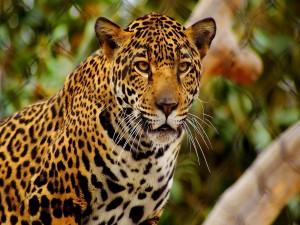 Leopardo en cautividad