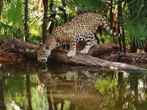 Leopardo bebiendo agua