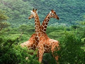 Postal: Dos jirafas cruzadas