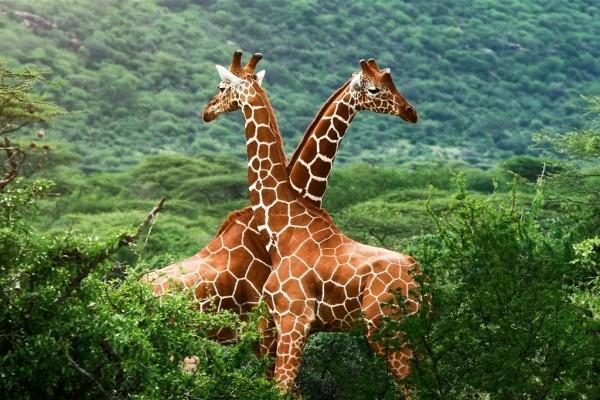 Dos jirafas cruzadas