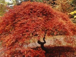 Postal: Árbol cubierto de hojas rojas