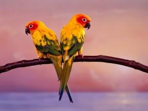 Postal: Pareja de loritos amarillos