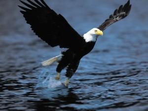 Postal: Aguila pescando