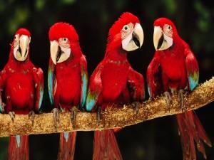 Pequeños loros rojos