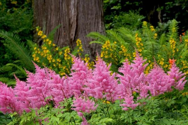 Floración rosa