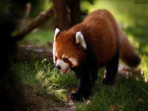 Postal: Oso panda rojo