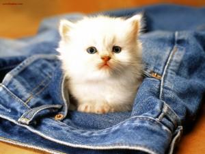 Gatito en el bolsillo de un pantalón vaquero