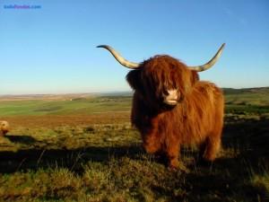 Postal: Vaca Highland
