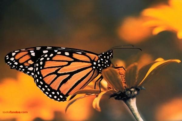 Mariposa negra con manchas naranjas y lunares blancos
