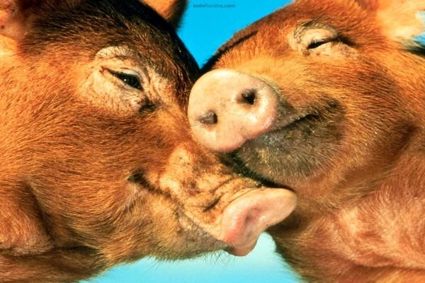 Amor porcino