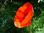Amapola en flor