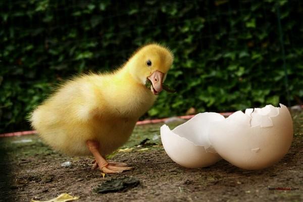 Pato y su cáscara de huevo