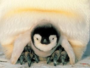Postal: Bebé pingüino