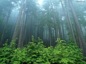 Postal: Un bosque de árboles muy altos