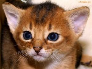 Postal: Gatito de ojos azules