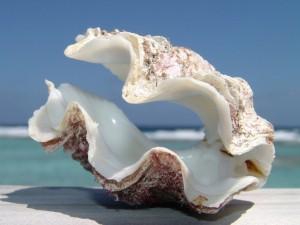Postal: Una concha marina