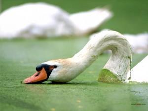 Cisne enfangado