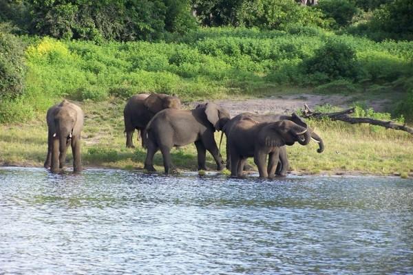 Elefantes a la orilla del río