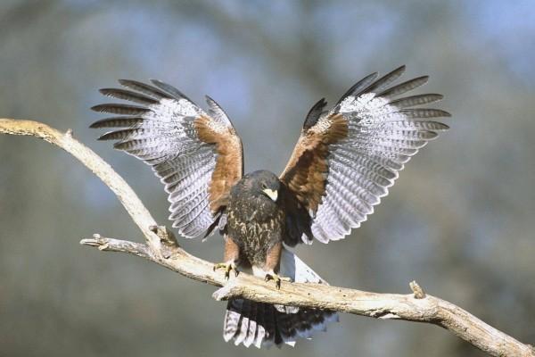 Halcón con las alas extendidas