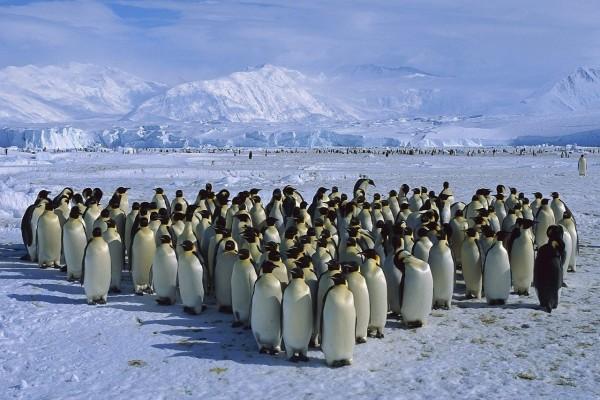 Una gran comunidad de pingüinos