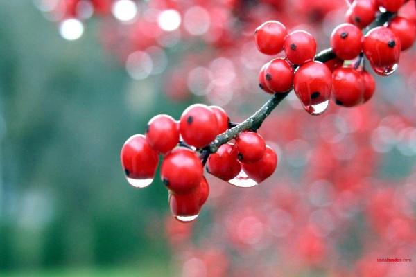 Bayas rojas mojadas