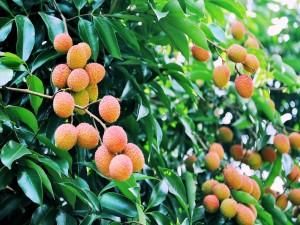 Lichi: fruta exótica, deliciosa y medicinal, originaria de China