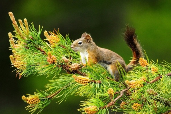 Ardilla subida a la rama de un pino