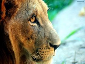 El rostro de un león