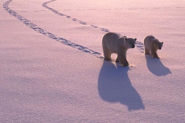 Dos osos polares caminando