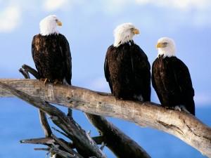 Tres águilas mirando el cielo desde una rama
