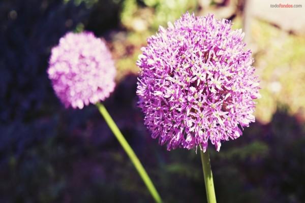Flores lilas silvestres
