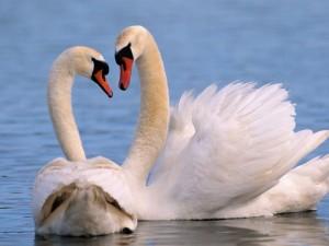 Postal: Pareja de cisnes blancos