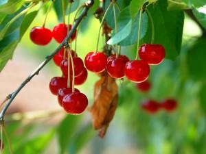 Postal: Cerezas rojas y dulces