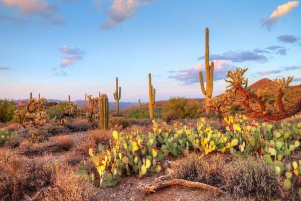 Cactus y nopales en el desierto de Sonora