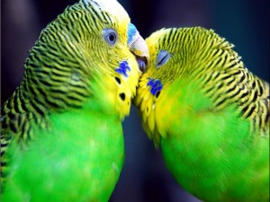 Amor entre loros