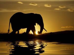 Elefante caminando al atardecer