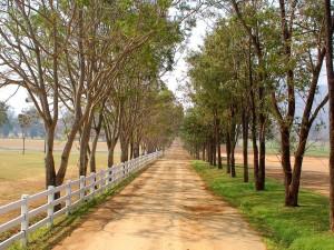Camino rural cercado por grandes árboles