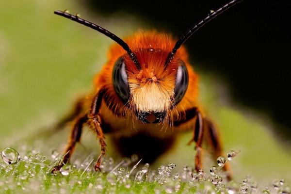 El rostro de una abeja