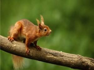 Ardilla caminando sobre la rama de un árbol