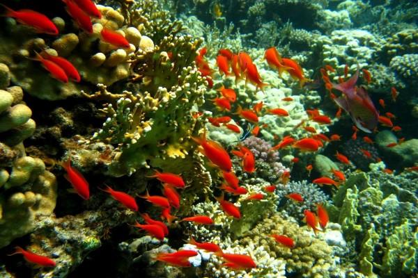 Cardumen de peces de color naranja