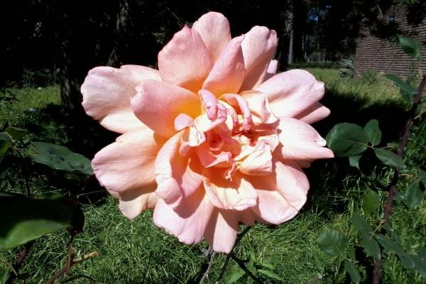 Una rosa bastante grande