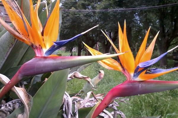 Aves del paraíso (Strelitzia reginae)