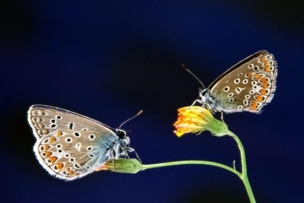 Mariposas moteadas