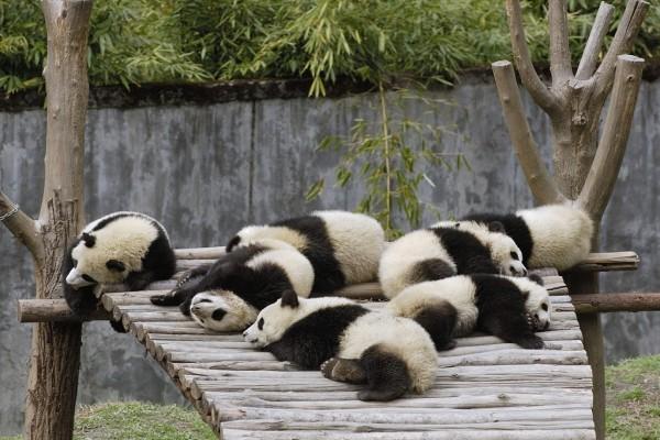 Osos panda descansando
