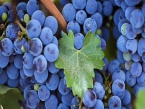 Postal: Racimos de uvas negras