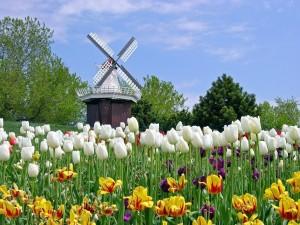 Tulipanes de varios colores en un bosque de Holanda