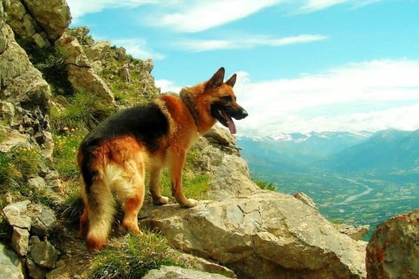 Pastor alemán subiendo la montaña