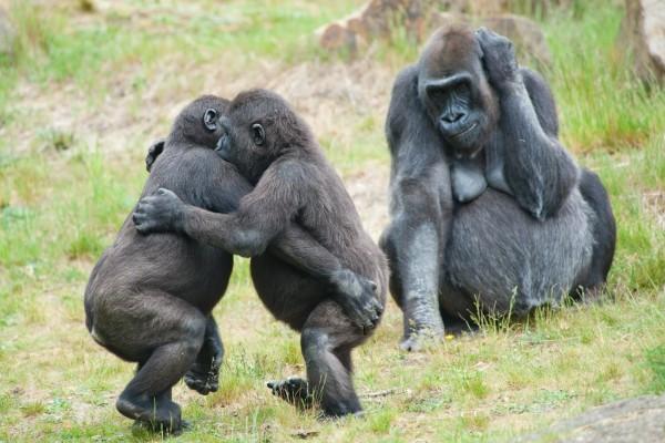 Dos gorilas bailando, y su mamá mirando