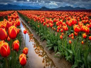 Campo de tulipanes holandeses